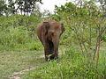 Sri Lankan Elephant in Hurulu Eco Park 35.JPG