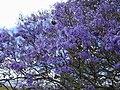 Starr-010423-0004-Jacaranda mimosifolia-flowers-Kula-Maui (24450014441).jpg