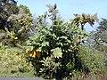Starr-010423-0051-Bocconia frutescens-habit-Kula-Maui (24450070701).jpg