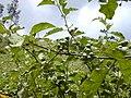 Starr-010425-0093-Solanum torvum-branch-Haiku-Maui (24424232042).jpg