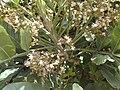 Starr-030418-0065-Filicium decipiens-flowers-Kula-Maui (24002371854).jpg