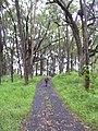 Starr-040713-0019-Eucalyptus sp-habit-Kopiliula-Maui (24714325315).jpg