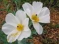 Starr-060329-6812-Argemone glauca-flowers-Maui Nui Botanical Gardens-Maui (24858965925).jpg