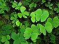 Starr-061108-9798-Marsilea villosa-in water garden-Hoolawa Farms-Maui (24775279531).jpg