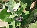 Starr-070207-4333-Calotropis procera-leaves and flowers-Maui Lani Kahului-Maui (24253965024).jpg