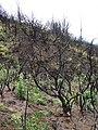 Starr-070908-9392-Rubus niveus-form b coming up in post fire planting area-Polipoli-Maui (24266278303).jpg