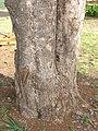 Starr-080417-4090-Jacaranda mimosifolia-trunk-Makawao-Maui (24539339479).jpg