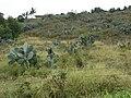 Starr-090430-6571-Opuntia ficus indica-habit-Kula-Maui (24322348414).jpg