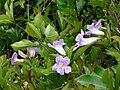 Starr-090430-6982Bignonia callistegioides.jpg