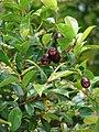 Starr-090514-7865-Myrtus communis-leaves and fruit and Puccinia psidii-Kula-Maui (24324729514).jpg