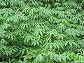 Starr-090618-1233-Manihot esculenta-leaves-Wailua-Maui (24670508590).jpg
