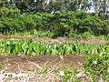 Starr-090720-3006-Colocasia esculenta-habit in loi-Waiehu-Maui (24674580590).jpg