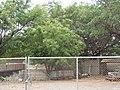 Starr-090814-4319-Azadirachta indica-habit-Industrial area Mokulele Hwy-Maui (24604622499).jpg