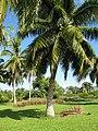 Starr-091104-0696-Cocos nucifera-habit-Kahanu Gardens NTBG Kaeleku Hana-Maui (24869282112).jpg
