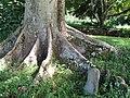 Starr-091104-0789-Parkia timoriana-buttressing roots-Kahanu Gardens NTBG Kaeleku Hana-Maui (24360738983).jpg