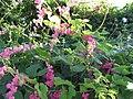 Starr-100113-1218-Antigonon leptopus-flowering habit-Waihee-Maui (24888690442).jpg