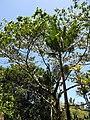 Starr-110330-4228-Ochroma pyramidale-habit-Garden of Eden Keanae-Maui (24450760174).jpg