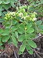Starr-110629-6472-Senna gaudichaudii-leaves and flowers-Ulupalakua-Maui (25097657215).jpg