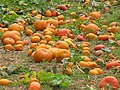 Starr-111004-0575-Cucurbita pepo-pumpkin patch-Kula Country Farms-Maui (25025099081).jpg