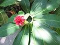 Starr-120522-6096-Costus barbatus-flower-Iao Tropical Gardens of Maui-Maui (24847485580).jpg