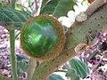 Starr-121108-0732-Solanum quitoense-fruit-Pali o Waipio-Maui (25077782962).jpg