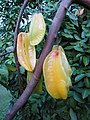Starr-121108-0862-Averrhoa carambola-fruit-Pali o Waipio-Maui (24828868549).jpg
