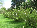 Starr-130411-1935-Gardenia augusta-flowering habit-Pololei Haiku-Maui (25209925065).jpg