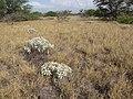 Starr-130422-4259-Encelia farinosa-habit-Kahului-Maui (25210424845).jpg