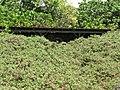 Starr-130702-5456-Thespesia populnea-habit and old overgrown structure-Kealia Pond-Maui (25218715175).jpg
