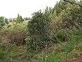 Starr-150108-3373-Caesalpinia decapetala-habit after control-Kekaulike Ave Kula-Maui (25171227941).jpg