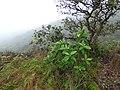 Starr-170727-0516-Pluchea carolinensis-habit-Makamakaole-Maui - Flickr - Starr Environmental.jpg