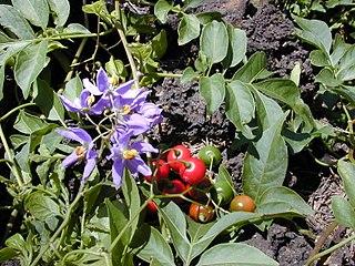 <i>Solanum</i> Genus of flowering plants