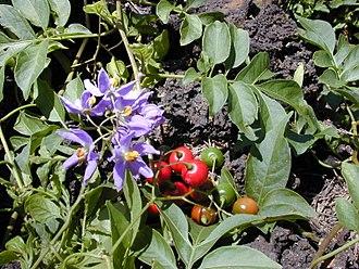 Solanum - Brazilian nightshade (Solanum seaforthianum)