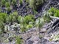 Starr 040131-0010 Pleomele auwahiensis.jpg