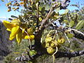 Starr 040214-0077 Sophora chrysophylla.jpg