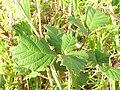 Starr 051123-5449 Rubus discolor.jpg