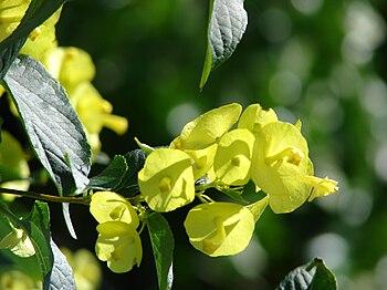 English: Holmskioldia sanguinea (form citrinia...