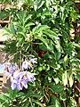 Starr 070228-4909 Solanum seaforthianum.jpg