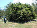 Starr 080601-5176 Ficus microcarpa.jpg