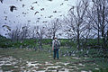 Starr 990518-0782 Casuarina equisetifolia.jpg