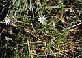 Stellaria nipponica (Mount Shiomi).jpg