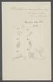 Stenobothrium macrobothrium - - Print - Iconographia Zoologica - Special Collections University of Amsterdam - UBAINV0274 105 17 0005.tif