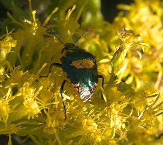 <i>Stiretrus</i> Genus of true bugs