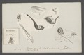 Stomoxys - Print - Iconographia Zoologica - Special Collections University of Amsterdam - UBAINV0274 039 07 0010.tif