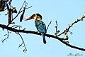 Stork Billed Kingfisher - കാക്കമീൻകൊത്തി (13033301543).jpg