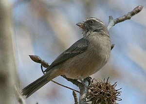 Seedeater - Streaky-headed seedeater (Serinus gularis), an African seedeater