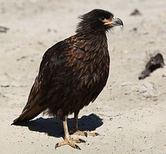 Striated Caracara on Saunders Island (5551649085).jpg