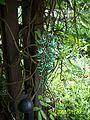 Strongylodon macrobotrys (Jade Vine).jpg