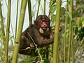 Stump tailed Macaque P1130751 12.jpg