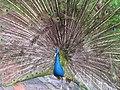 Stupendous peacock display (7856586726).jpg
